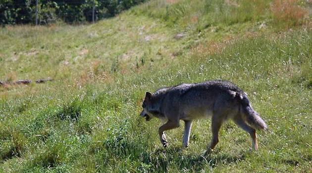 Ulven i Danmark